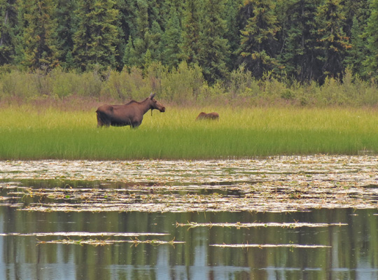 Moose in lake side field.